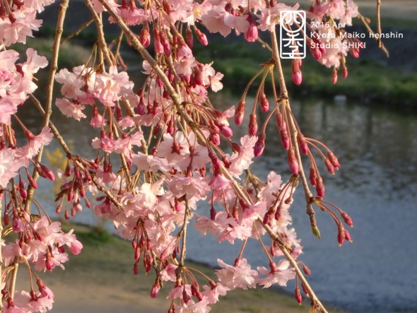 21-5 鴨川と桜5