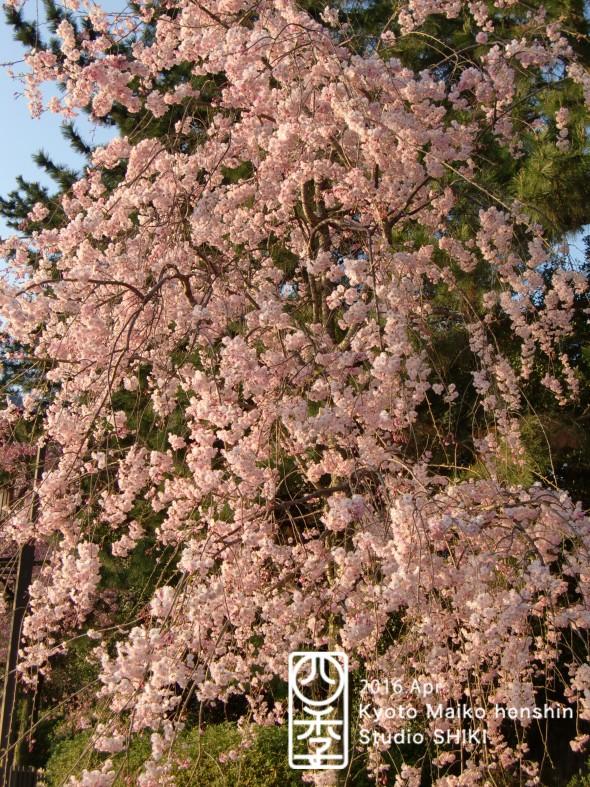 21-2 紅枝垂桜 2