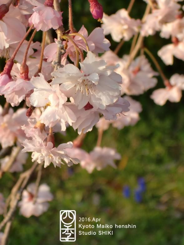 21-3 枝垂桜アップのコピー