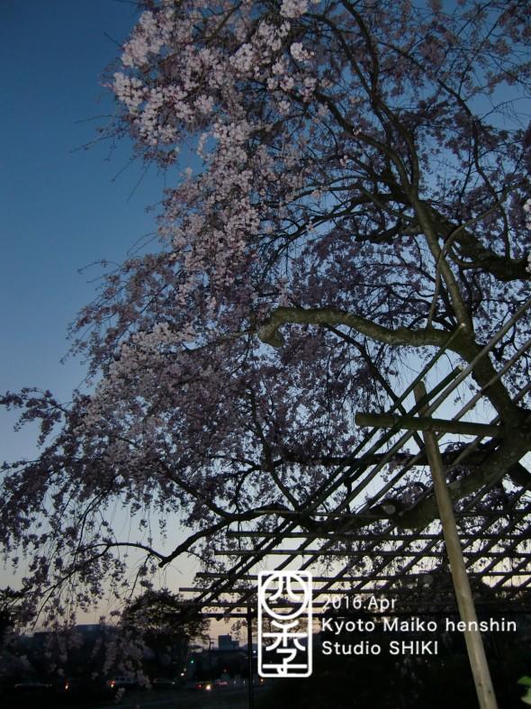 21-4 夕暮れの桜のコピー